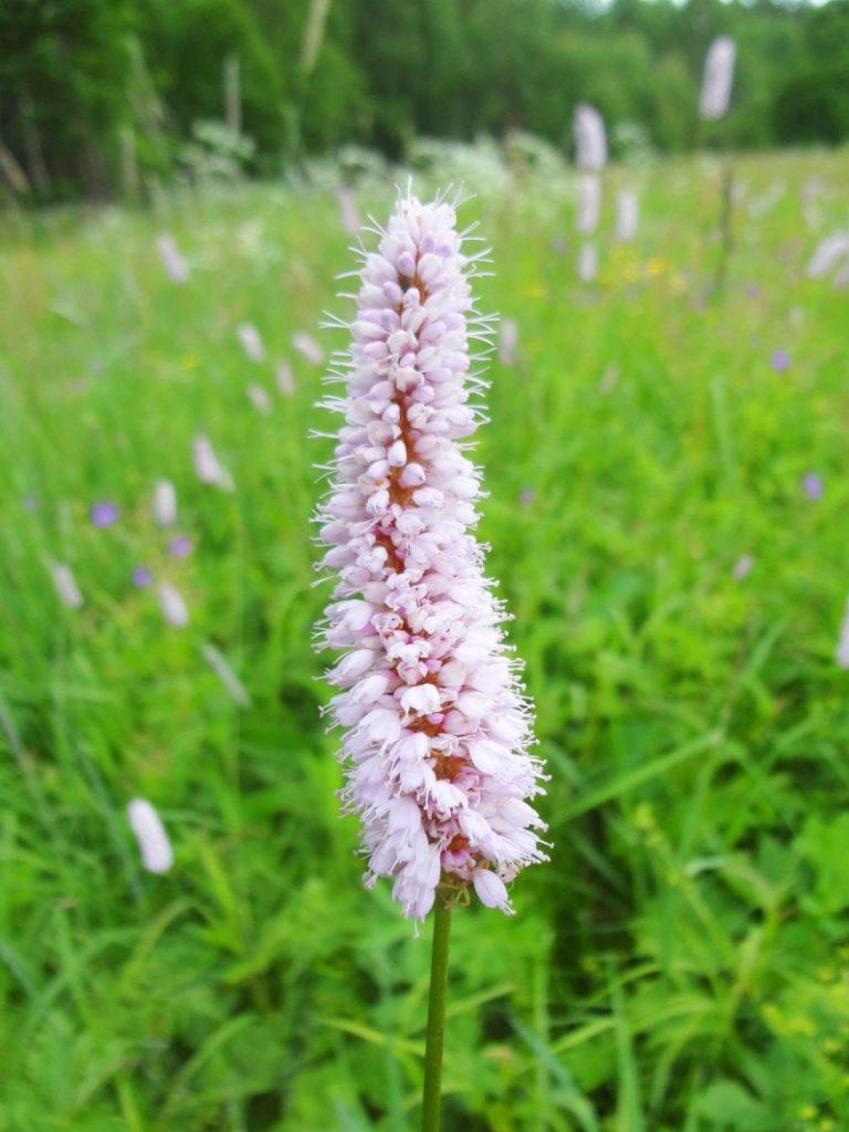 змеева трава фото качестве