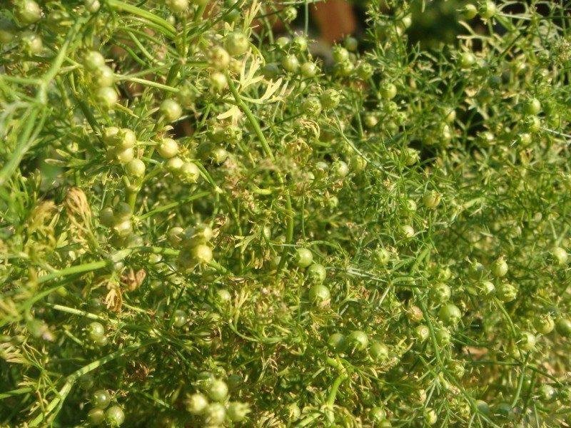 мангале фото кориандра растения захватывающее занятие, которое