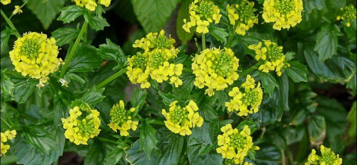 Желтушник серый, левкойный и ястребинколистный: лечебные свойства и противопоказания, как используют траву для лечения заболеваний