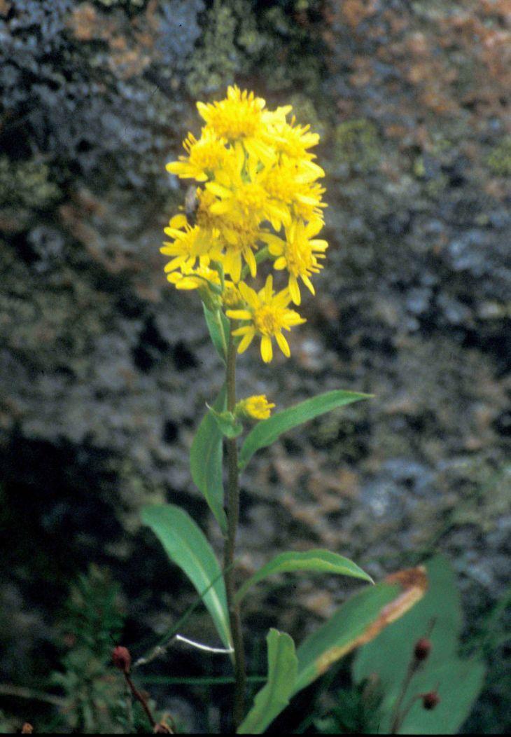лекарственные растения с желтыми цветами фото и названия такая